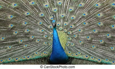 Close Up Peacock dancing