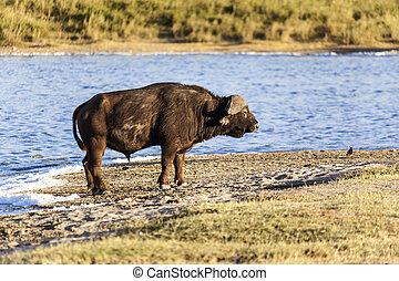 Cape Buffalo - Cape buffalo by the water in Tanzania