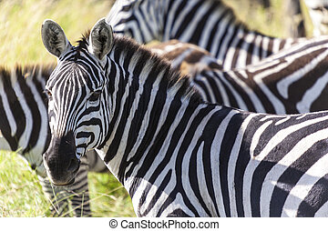 Head Of A Zebra - Beautiful zebras in the wilderness close...
