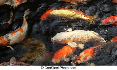 closeup fancy carp in the pool