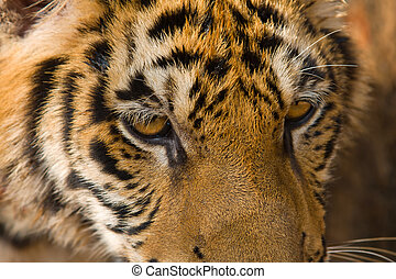 Tiger - Portrait of Amur Tigers in summer day