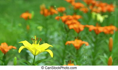 Wild flowers - Orange and yellow flowers blooming on the...