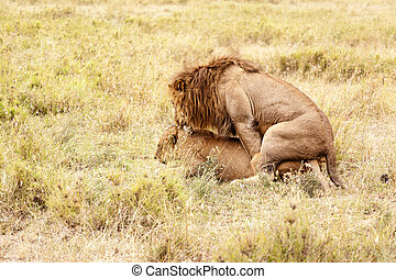 Mating |Lion