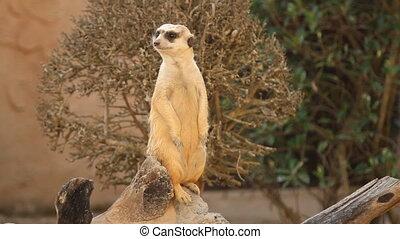 Meerkat standing upright look alert - Meerkat standing...