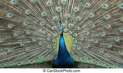Closeup Peacock displaying plumage