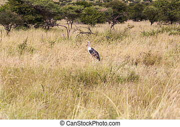 Marabou Stork - Marabou stork in the wilderness of Africa