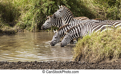 Drinking Zebras - Drinking zebras at a water hole
