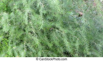 asparagus smilax plant - asparagus sparrowgrass smilax green...