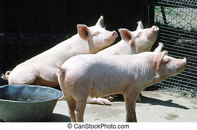 3 little pigs H-290 - 3 little pigs in a pen looking at...