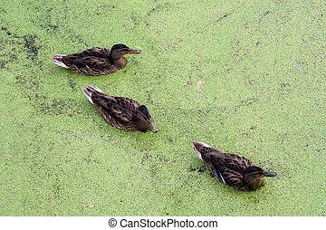 Ducks in in green morass - Group of swiming Ducks in green...