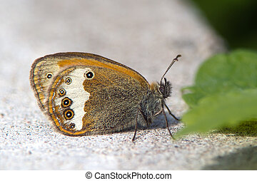 The Pearly Heath Coenonympha arcania - The beautiful Pearly...
