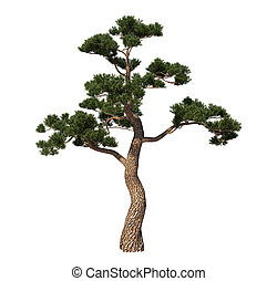 Japan pine tree without environment and shadow