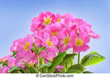 Pink primroses with raindrops