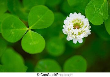 White Clover-Trifolium repens - White Clover. This image was...