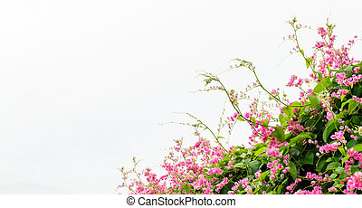 Pink flower are isolated on white