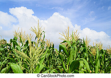 Corn field with cloudy sky
