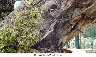 Mamvre or Abraham Oak in Hebron, Palestine