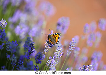 Butterfly on blooming lavender - Small Tortoiseshell...
