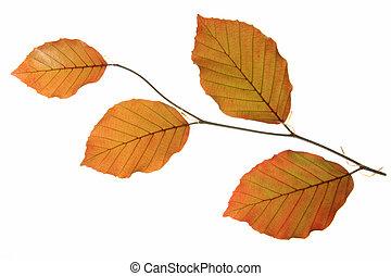 Copper beech Fagus sylvatica f purpurea - a small branch...
