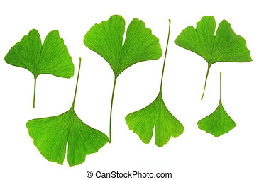 Ginkgo biloba - Leaves of the Ginkgo tree (Ginkgo biloba)