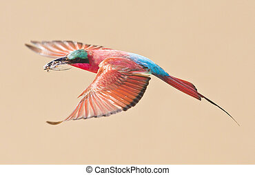 Carmine Bee Eater Bird in Flight
