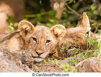 mignon, lion, Petit, mère