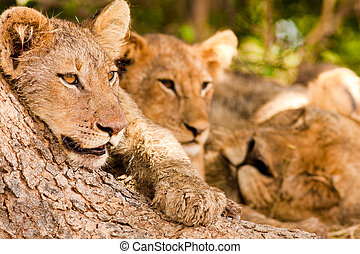 Pride of lions resting in the shade of a large tree