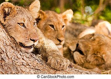 Orgullo, leones