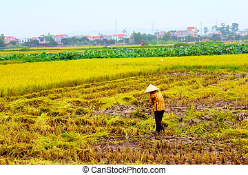 woman farmer working on a rice field