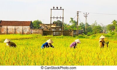 woman farmer harvest on a rice field