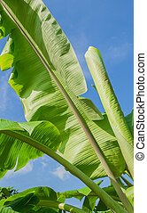 Banana leaves with blue sky in the bright day