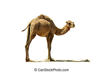 Baby camel. - Small camel, close up, isolated on a white...