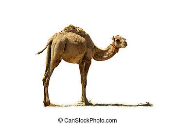 bebé, camello