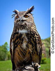 eagle Owl - portrait of an eagle owl