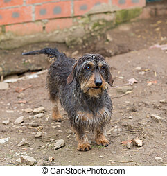 Dachshund closeup - Closeup of adult Dachshund with shallow...