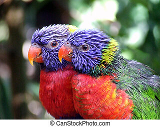 Lovebirds (genus Agapornis)