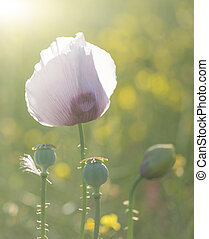 Purple poppy flower portrait in Summer sunlight - Beautiful...
