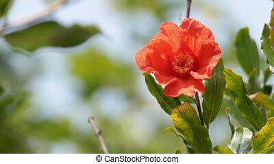 pomegranate closeup - pomegranate flower on a sunny and...