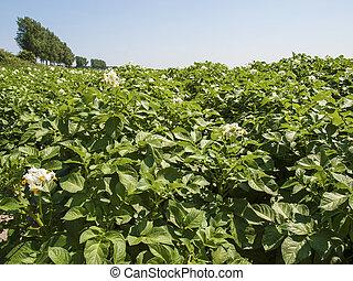 akker, bloeiend, toneel, Aardappel