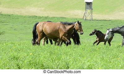 warmblood mares and foals on meadow