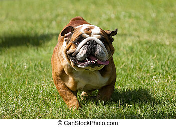 English bulldog running in the green grass