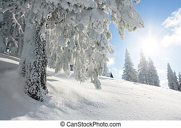 Sunshine and pine tree on winter