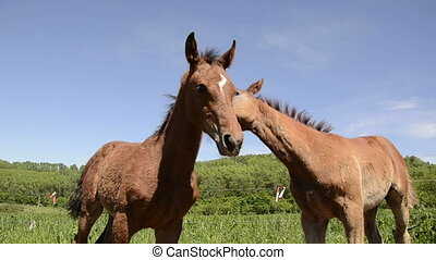 two warmblood horse foals playing