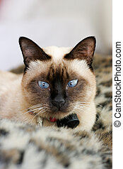 Cat - Beautiful chocolate brown Siamese cat on an animal...
