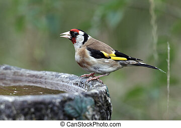 Goldfinch, Carduelis carduelis, single bird at bird bath in...
