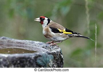 Goldfinch, Carduelis carduelis, single bird at bird bath in...
