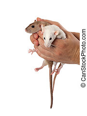 Fancy rats in hands Isolated on white background