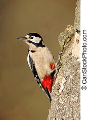Great-spotted woodpecker, Dendrocopos major, single female...
