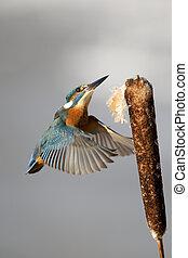Kingfisher, Alcedo atthis, Single bird landing on reed head,...