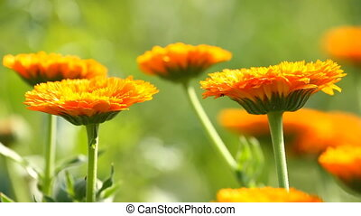 Flower of calendula on the green grass